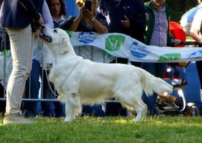 Ch Pinkerly Tom Jones TOP DOG 2014_2